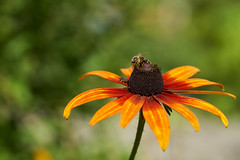20170717-102459 (Ernst_P.) Tags: 105mm aut blume blüte botanischergarten f28 innsbruck macro österreich pflanze sigma tirol tier insekt biene