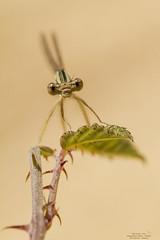 Platycnemis latipes (Pipa Terrer) Tags: platycnemislatipes odonata damselfly caballitodeldiablo ríocazuma insecta insectos invertebrados zigoptera