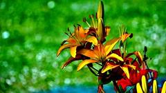 The Lily Corner (Bob's Digital Eye) Tags: 2017 bobsdigitaleye canon canonefs55250mmf456isstm flicker flickr flower flowers garden gardenflowers lily plant t3i bokeh
