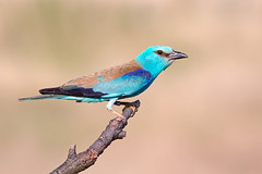 Roller (Chas Moonie-Wild Photography) Tags: roller