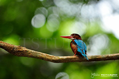 White-throated kingfisher (Halcyon smyrnensis) (Tstudioz) Tags: wildlife wayoflife wetzones wilderness rainforest rainydays river tstudioz tharidu tharakaperera tree kingfisher yala udawalwe bulbul interestingshot ingiriya bodhinagala photography amazingsrilanka asia d90 forestreserve flycatcher forest green habitat lanka lighting zone exotic colorfullbirds birding birds beautifullsrilanka birdsofsrilanka nikon nikond90 nature nesting morning magicalplace
