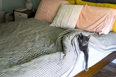 0723 Tungsten chills out on the bed (movies05) Tags: kitty project365 russianblue tungsten bed bedroom cat covers cute paws denton texas unitedstates us