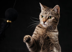 'Candy Boxing' (Jonathan Casey) Tags: kitten cat tabby action black background nikon d810 105mm f28 vr