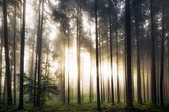 Lighten up (der_peste) Tags: forest light raysoflight sunrise morningsun morning earlymorning trees rays sunlight sunbeam timber woods woodland timberland