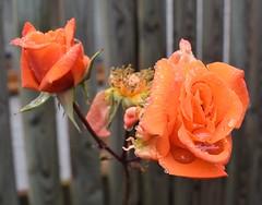 Rainy Roses 200/365 (Bebopgirl1969) Tags: rose raindrops flower garden