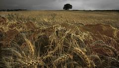 Old gold (ackostojkovic) Tags: summer scarf tree photoshop wheat landscape gold july