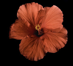Red Hibiscus Flower (Bill Gracey 15 Million Views) Tags: backlit backlighting homestudio blackbackground red color colorful fleur flower strobes offcameraflash softbox roguegrid yongnuo yongnuorf603n tabletopphotography shadows textures