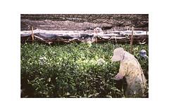 (Julie Stutzman) Tags: japan sayama greentea farm harvesting spring matcha tea film analog contaxt3 fujifilm