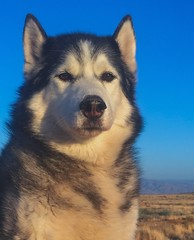 Timber (Cruzin Canines Photography) Tags: male iphone6plus kerncounty pet siberianhusky closeup cute domesticanimal bakersfield animals domestic animal dog califorina naturallight dogs pets iphone canine alaskan husky outside alaskanhusky daylight outdoors huskies mammal