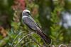 IMG_5841 (DavidMC92) Tags: canon eos 7d tamron sp 70300mm mississippi kite oklahoma city will rogers park bird prey