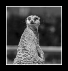 I see everything (Simon Heywood) Tags: twycross zoo meerkat