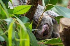 verschlafen (grasso.gino) Tags: tiere animals natur nature zoo duisburg koala verschlafen sleepy nikon d5200