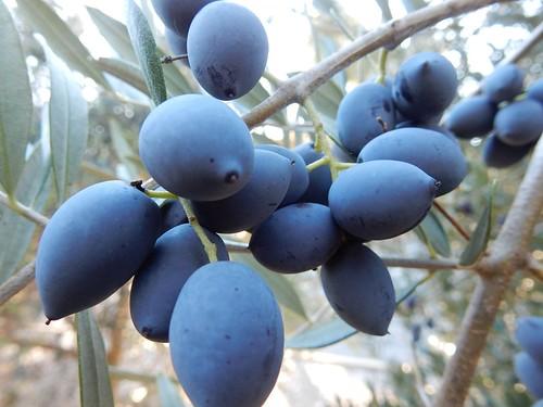 Blue Olives