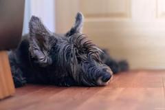 My Faithful Friend (ttarpd) Tags: dog canine pet faithful friend tigger scottish terrier jack russell animal domestic