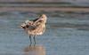 bar-tailed godwit (Limosa lapponica)-5247 (rawshorty) Tags: rawshorty australia nsw portmacquarie birds