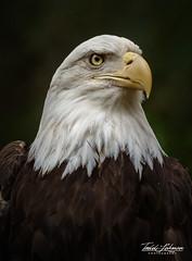 Bald Eagle (ToddLahman) Tags: baldeagle eagle escondido sandiegozoosafaripark safaripark canon7dmkii canon canon100400 closeup portrait bird birds beautiful america eyelock