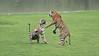 Tiger Sisters in a Fight (Raymond J Barlow) Tags: tiger tigress wildlife nature india fight travel raymondbarlowtours