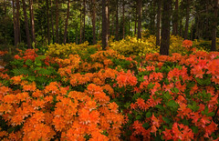 The Blooming Forest (tinamar789) Tags: rhododendron park azalea flower flowering blooming forest pine tree morning haaga helsinki finland
