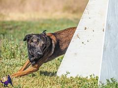 P7150246 (Songdog Studios) Tags: green dog neumond womensretreat 2017 k9 schutzhund ipo