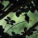 Safe in the Shadows (richardmacquade) Tags: green black silhouette fauna bird tree leaves hummingbird
