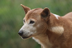 African Singing Dog (charliejb) Tags: africansingingdog african singing dog 2017 exmoorzoo exmoor canine wildlife fur furry northdevon devon