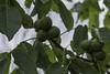 Walnut fruit (Anders Toomus) Tags: valnöt läckö kreekapähklipuu juglansregia walnut canon7dmkii
