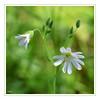 Stellaire holostée (thierrymazel) Tags: printemps spring fleurs flowers blossoms stellaire profondeurdechamp pdc dof nature cadre bordure bokeh