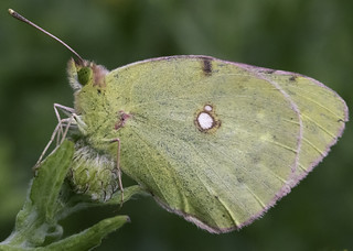 Female Clouded Yellow