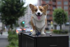 EIN 今日のお散歩♪ (luckyno3) Tags: pembrokewelshcorgi dog animal