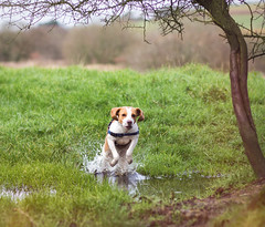 Beagle splash down (Odd Jim) Tags: beagle dogs dog lemon jumping fun playing hound countryside canon6d canon85mmf18 prime lens