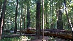 California Redwoods (artofjonacuna) Tags: redwoods humboldt california forest trees