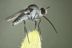 Bombyliidae. Geron halteralis (dorolpi) Tags: