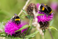 Oxford Island - Mini Beasts (dareangel_2000) Tags: oxfordisland minibeasts mini beasts dariacasement northernireland insect bee bumblebee