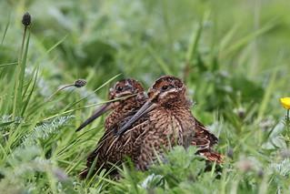 snipe chicks