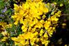 Fleurs Flowers (claude 22) Tags: flores fleurs flowers colours couleurs nature bokeh blumen fiori 花卉 blommor フラワーズ claude22 jaune yellow gelb 黄 gul amarillo giallo 黄色
