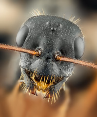 Ant (Can Tunçer) Tags: can cantunçer cantuncer canon canon6d closer tunçer turkey turkiye türkiye tuncer tabletop ant macro makro macros macrophotography micro mikro makros microscop microscope mitutoyo mitu5x mag stack stacking studio setup stand spider izmir ikea jansjö jansö