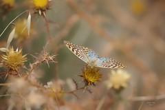 Borboleta (Carlos Santos - Alapraia) Tags: borboleta butterfly insecto animal ourplanet animalplanet canon nature natureza