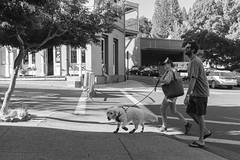 DSCF5590 2.jpg (RHMImages) Tags: summernights streetphotography dog monochrome x100f blackandwhite socks nevadacounty streetfair fuji bw nevadacity fujifilm downtown