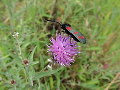6 spot Burnet moth (deannewildsmith) Tags: moth 5spotburnetmoth chasewater staffordshire insect earthnaturelife