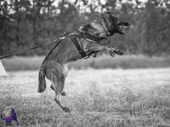 P7152206 (Songdog Studios) Tags: green dog neumond womensretreat 2017 k9 schutzhund ipo