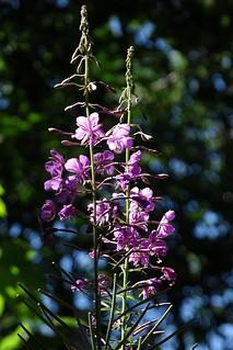 fiori spontanei d'alta quota