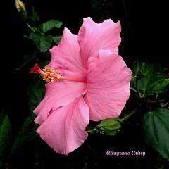 Hibisco/Hibiscus (Altagracia Aristy Sánchez) Tags: hibisco hibiscus riverview florida fujifilmfinepixhs10 fujifinepixhs10 fujihs10 altagraciaaristy apollobeach fondonegro sfondonero blackbackground