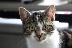 Lemmy (Serenity Shots) Tags: cat kitty lemmy kat poes kater knap fur furry pluizig pluizebal kattekind kattenkind pluisje schattig knapjochie knapventje princefurball prinshaarbal