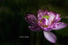 D66_9969 (brook1979) Tags: 台北市 植物園 荷 蓮 荷花 蓮花 葉 花 lotus flower