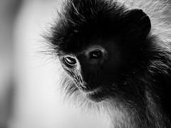 Langur (c.poole photography) Tags: langur monkey zoo columbus ohio monochrome black white blackandwhite backlit