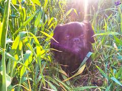 Зверушки 0391 (2016.05.21) (vladsky78) Tags: ильичёвск животные зелень поле собака