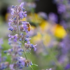 The Summer Garden (The Good Brat) Tags: co us summer garden bee salvia perennial plant pollen square purple blue flower