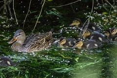 2U7A2291 (rpealit) Tags: scenery wildlife nature east hatchery alumni field mallard duck ducklings bird