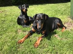 Enjoying The Sun - Dobermann Pinschers Saxon and Gabbana (firehouse.ie) Tags: dogs gabbana saxon canine k9 pinscher pinschers dobermann doberman dobermanns dobermans dobeys dobey dobies dobie dobes dobe