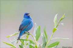Indigo Bunting Singing a Melody (Daniel Cadieux) Tags: bunting indigobunting blue sing singing song forest ottawa